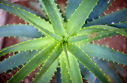 close up on aloe vera plant