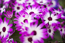 close up of white and pink daisies