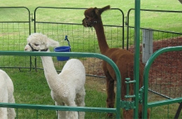 baby llamas in a pen visiting the residents at Caroline