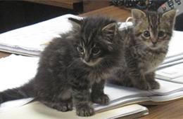 darling fluffy little kittens sitting on paperwork